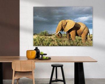 Afrikaanse olifant (Loxodonta africana) in de savanne van Nature in Stock