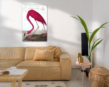 American Flamingo, op wit zonder legenda