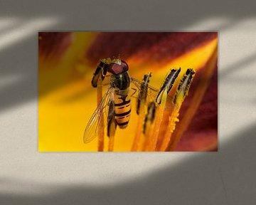 Der Pollendieb - Schwebfliege von Christine Nöhmeier