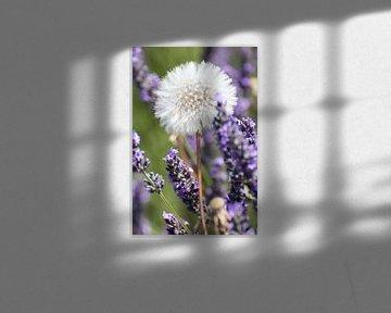 Paardebloem in lavendelveld van Jolanda van Eek