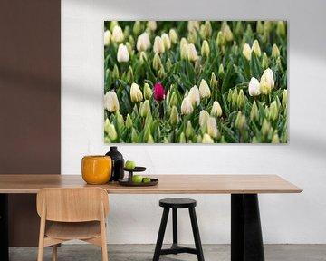 Tulpen von Marcel Derweduwen