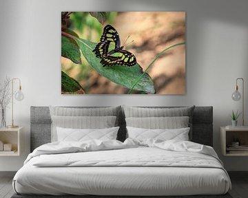 Malachietvlinder von Tim Abeln