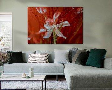 Witte tulp in rood. sur Tilja Jansma