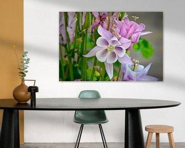 Akelei in volle bloei von Stip Fotografie