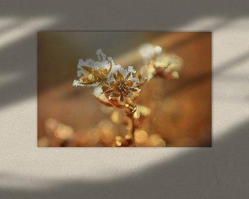 Eisblume von zwergl 0611