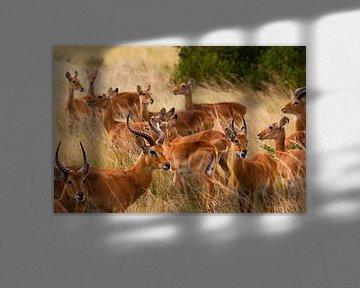 Uganda Cobs von Sander Strijdhorst