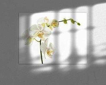 Witte Orchideae von Ellen Driesse