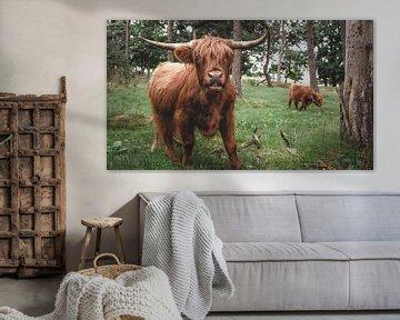Schotse Hooglander met jong kalf, Hoge Veluwe van Paul Hemmen