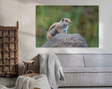 Ground squirrel van Jan Heijmans