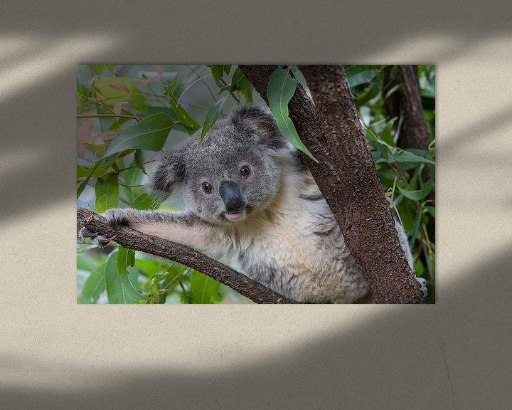 Sfeerimpressie: Koala (Phascolarctos cinereus) jong van 11 maanden in een boom, Australië van Nature in Stock
