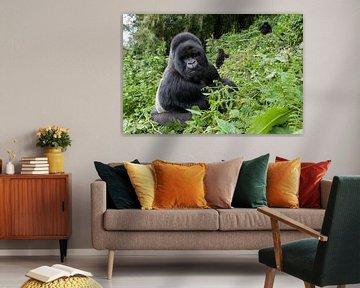 Gorille de montagne (Gorilla gorilla beringei) dos argenté à flanc de montagne dans le parc national sur Nature in Stock