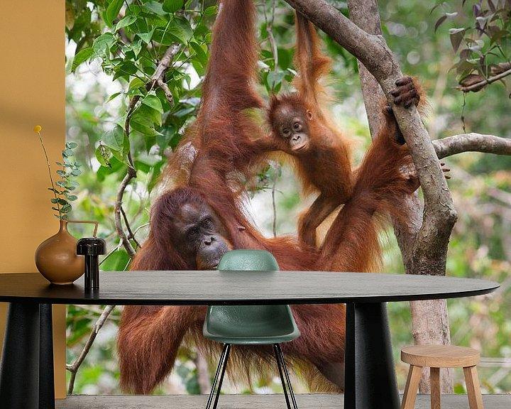 Sfeerimpressie behang: Borneose Oran-oetan (Pongo pygmaeus) moeder en kind hangend aan een boomtak van Nature in Stock