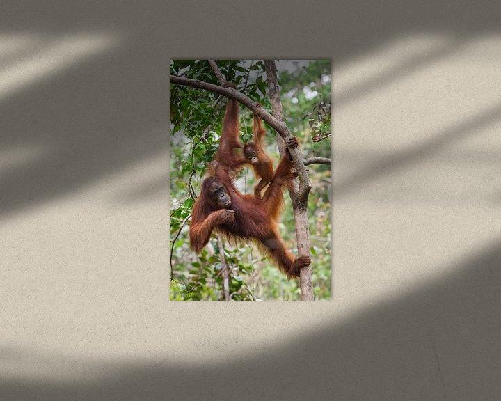 Sfeerimpressie: Borneose Oran-oetan (Pongo pygmaeus) moeder en kind hangend aan een boomtak van Nature in Stock