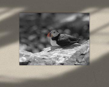 Puffin / Papagaaiduiker   von Peter Sonneveld
