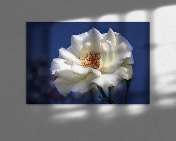 Weiße Rose auf blauem Hintergrund von Tim Abeln