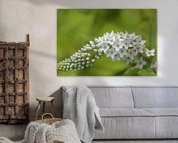 Witte vlinderstruik of sierheester, Buddleja, witte bloemetjes