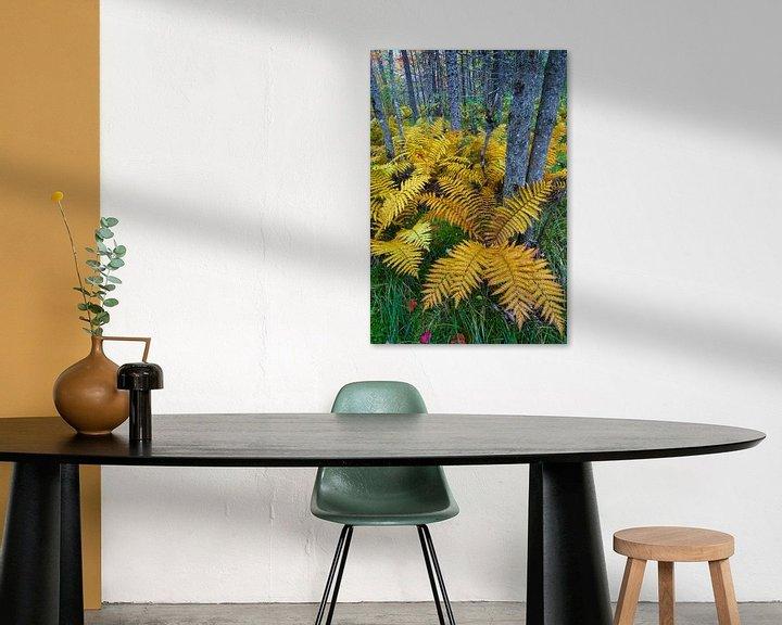 Sfeerimpressie: Kaneelvaren (Osmunda cinnamomea) in herfstkleuren groeiend in het bos van Baxter State Park, Verenig van Nature in Stock