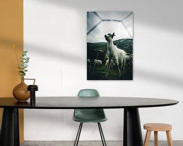 Norwegian goat leader