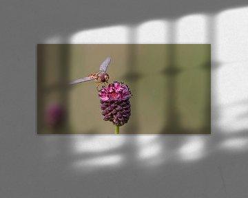 Sluipwesp op de bloem van de grote pimpernel von Bas Ronteltap