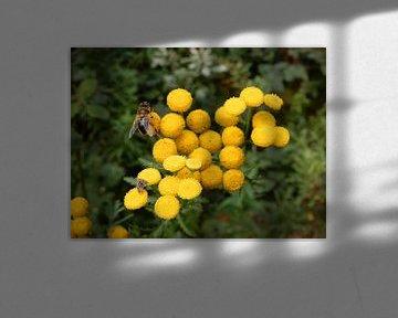 Cipressenkruid met insecten von Klaas Roos