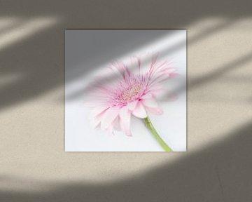 Zacht roze Gerbera bloem von Anne-Marie Pannekoek