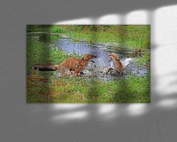 Vechtende vossen in het water sur Michel de Beer