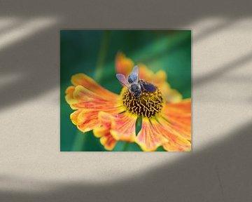 Zweefvlieg op Zonnekruid von Ingrid Ronde