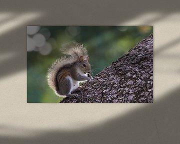 Oostelijke Grijze Eekhoorn op boomstam von Michel de Beer