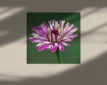 Roze zinnia von Ingrid Ronde