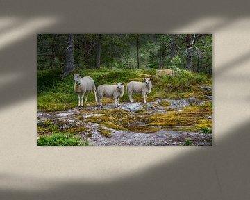 three sheep animals in nature in norway von Compuinfoto .