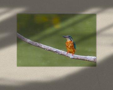 Eisvogel - Kingfisher sur Ursula Di Chito