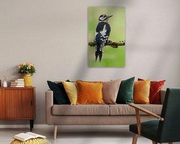 Grote bonte specht (Dendrocopos major). van Rob Christiaans