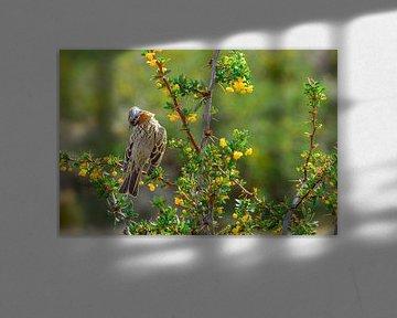 Zangvogel in Patagonië, Argentinië von Geert Smet