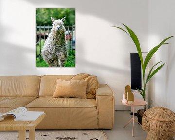 Suri Alpaca  van Michel Van Zanten
