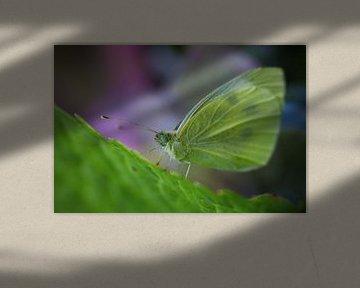 Citroenvlinder von Kristel van de Laar