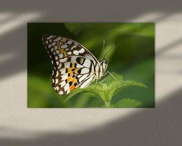 Gros plan sur les papillons tropicaux sur Samantha Schoenmakers