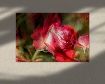 Romantische Rose