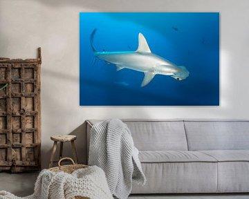 Bogenstirn-Hammerhai oder Gekerbter Hammerhai (Sphyrna lewini) von Norbert Probst