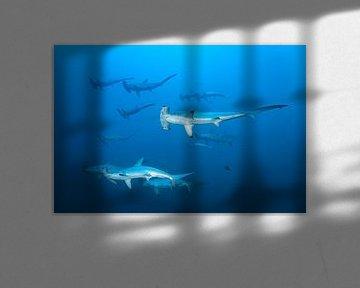 Schwarm Bogenstirn Hammerhaie von Norbert Probst