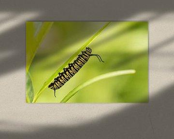 Rups van de Monarchvlinder von Hans Lunenburg