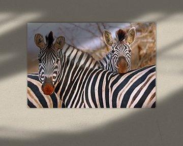 Zebra-Freundschaft in Südafrika von W. Woyke