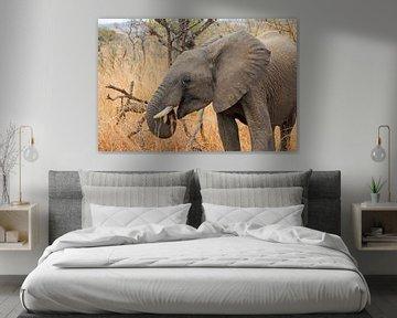 Olifant Zuidafrika
