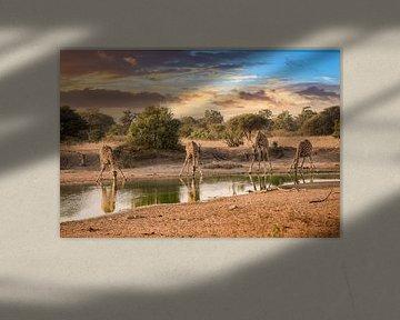 Trinkende Giraffen sur Thomas Froemmel