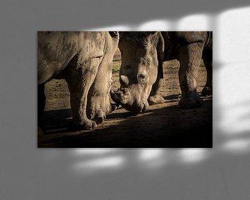 Rhinocéros au combat sur Marcel Alsemgeest