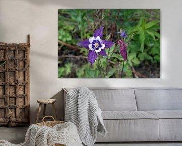 Akelei, bloem, flower von Yvonne Balvers