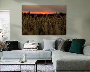 Champ de maïs coucher de soleil sur Jasper Los