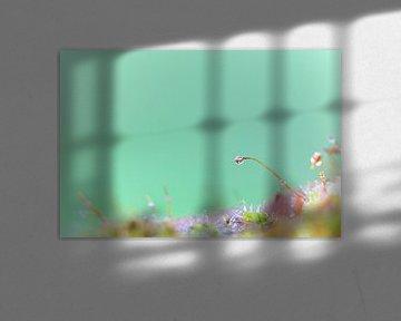 Een macrofoto van mos met waterdruppels. von Robert Wiggers
