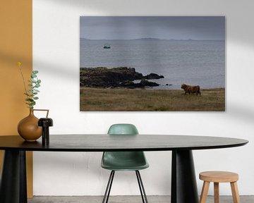 Schotse hooglander aan zee