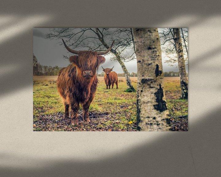 Sfeerimpressie: Schotse Hooglanders op Jiltdijksheide (Westerkwartier) van Martijn van Dellen