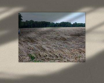 Een platgeslagen korenveld na de eerste overnachting van Wilbert Van Veldhuizen
